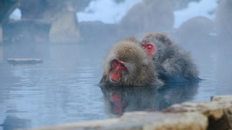monkeys in hot spring